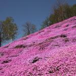 ひがしもこと芝桜公園 芝桜まつり